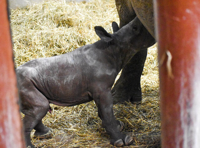 In a photo provided by the Potter Park Zoo a newborn black rhino calf that was born at the zoo on Christmas Eve, Tuesday, Dec. 24, 2019, is nursed by its mother, 12-year old Doppsee, in Lansing, Mich. The unnamed calf won't be seen by the public until the spring of next year. Zoo officials said that the species is at risk of extinction because of illegal poaching and habitat loss. (Kaiti Chritz/Potter Park Zoo via AP)