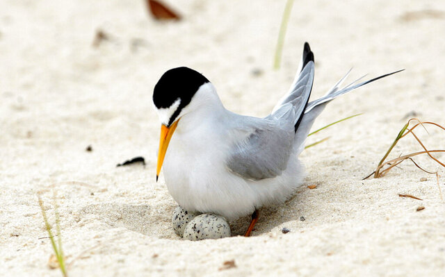 FILE - In this Saturday, May 1, 2010 file photo, a least tern checks her two eggs on the beach in Gulfport, Miss. The interior least tern, a hardy Midwestern bird that survived a craze for its plumage and dam-building that destroyed much of its habitat, has soared off the endangered species list. Federal officials said Tuesday, Jan. 12, 2020, that 35 years of legal protection and habitat restoration efforts had brought the tern back from the brink of extinction. (AP Photo/Dave Martin File)