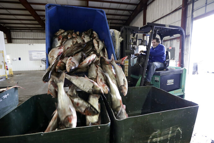 In this Feb. 11, 2020, photo, Asian carp are unloaded at Two Rivers Fisheries in Wickliffe, Ky. Asian carp were imported to the U.S. in the 1960s and 1970s as an eco-friendly alternative to poisons for ridding southern fish farms and sewage lagoons of algae, weeds and parasites. The advance of the invasive carp, however, threatens to upend aquatic ecosystems, starve out native fish and wipe out endangered mussel and snail populations along the Mississippi River and dozens of tributaries. (AP Photo/Mark Humphrey)