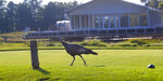 A wild turkey struts across the ninth tee at Whistling Straits Golf Course in Haven, Wis., on Monday, Aug. 23, 2021, as preparation continues for the Ryder Cup golf matches. The pandemic-delayed 2020 Ryder Cup returns the United States next week at Whistling Straits along the Wisconsin shores of Lake Michigan. (Mark Hoffman/Milwaukee Journal-Sentinel via AP)