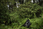 In this Sept. 2, 2019 photo, a silverback mountain gorilla named Segasira sits among plants in the Volcanoes National Park, Rwanda. Instead of disappearing, the number of mountain gorillas _ a subspecies of eastern gorillas _ has risen from 680 a decade ago to just over 1,000 today. (AP Photo/Felipe Dana)