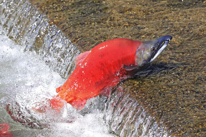 A Kokanee Salmon swims up stream during the spawning period Wednesday, Sept. 18, 2019, along the Strawberry River, about 20 miles southeast of Heber City, Utah. The salmon run goes from the end of August till October. (AP Photo/Rick Bowmer)