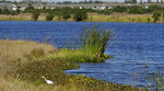 FILE - In this Tuesday, Dec. 11, 2018, file photo, an Egret looks for food along Valhalla Pond in Riverview, Fla. A federal judge has thrown out Trump-era rule that ended federal protections for hundreds of thousands of small streams, wetlands and other waterways across the country. (AP Photo/Chris O'Meara, File)