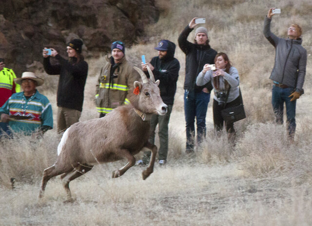 In this Monday, Jan. 13, 2019 photo, the Nevada Department of Wildlife and Pyramid Lake Paiute Tribe released about 20 bighorn sheep into the Pyramid Lake Range in western Nevada, in an effort to revive the sheep population in the area. The sheep are believed to be the first of their species in the area in nearly 100 years. (Colton Lochhead/Las Vegas Review-Journal via AP)