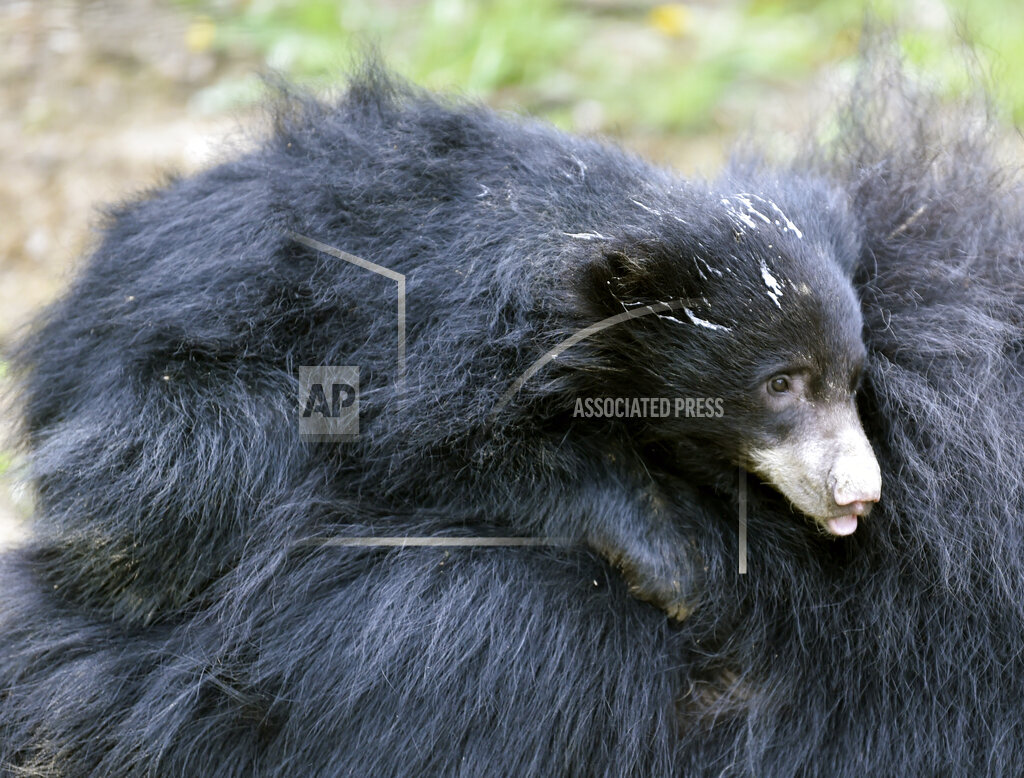 Sloth Bear, Melursus ursinus