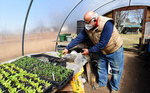 Gus Picardo cares for the plants in his backyard greenhouse in Millcreek Township, Pa., on March 19, 2021. Gus and Mary Picardo have been eating their own homegrown lettuce since February. By mid-March, they had tomatoes growing on more than four dozen healthy plants. (Jack Hanrahan/Erie Times-News via AP)