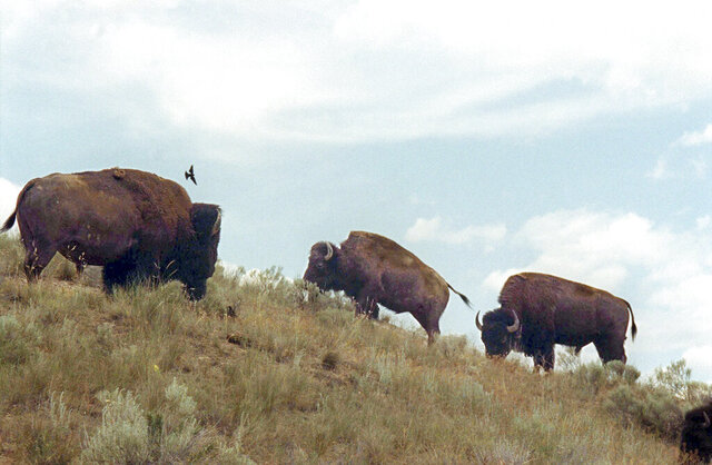 FILE- In this June 25, 2003, file photo, bison wander along a hillside at the National Bison Range near Moiese, Mont. Federal officials have transferred the range to the Confederated Salish and Kootenai Tribes. (AP Photo/Jack Sullivan, File)