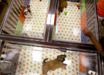 People watch puppies in a cage at a pet store in Columbia, Md., Monday, Aug. 26, 2019. Pet stores are suing to block a Maryland law that will bar them from selling commercially bred dogs and cats, a measure billed as a check against unlicensed and substandard