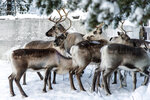 In this Saturday, Nov. 30. 2019 photo, reindeer in a corral at Lappeasuando near Kiruna await to be released onto the winter pastures. Global warming is threatening reindeer herding in Sweden's arctic region as unusual weather patterns jeopardize the migrating animals' grazing grounds as rainfall during the winter has led to thick layers of snowy ice that blocks access to food. (AP Photo/Malin Moberg)
