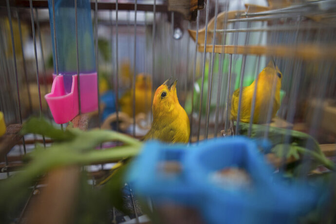 In this Aug. 5, 2019 photo, canaries caught from the wild by animal traffickers sing in their cages in a quarantined area of a wildlife center before being freed in Bogota, Colombia. Songbird competitions have been a pastime throughout the Caribbean for centuries, but trapping wildlife without a license is a crime in Colombia. (AP Photo/Ivan Valencia)