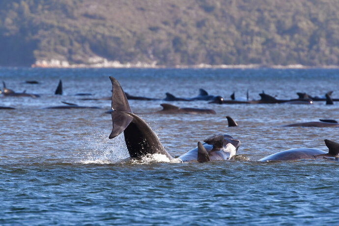 Pilot whales lie stranded on a sand bar near Strahan, Australia, Monday, Sept. 21, 2020. An estimated 250 whales are stuck on sandy shoals and government marine conservation staff have been deployed to the scene to attempt to rescue the whales. (Brodie Weeding/Pool Photo via AP)