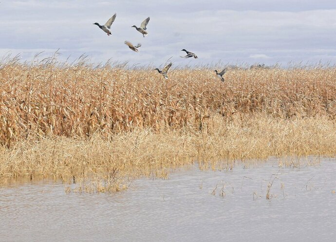 Ducks fly from a water covered corn field south of Mandan, N.D. on Monday, Oct. 21, 2019. North Dakota Gov. Doug Burgum on Monday declared a statewide flood emergency and said officials were looking at other measures to help residents affected by heavy rains and a blizzard that dumped record amounts of snow in some places, especially farmers. (Tom Stromme/The Bismarck Tribune via AP)