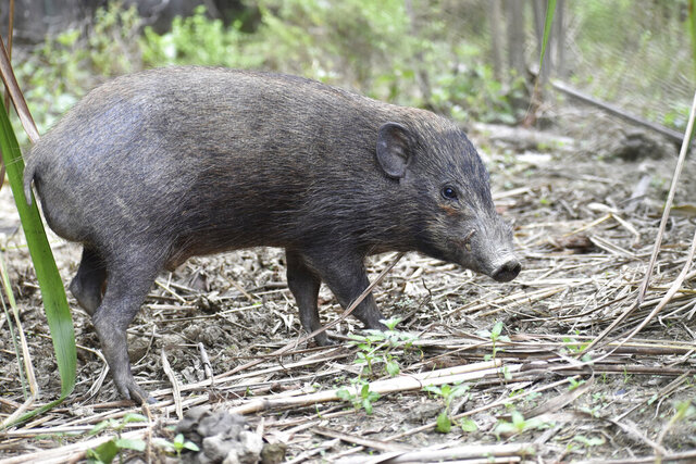 This undated photo provided by the Durrell Wildlife Conservation Trust in July 2020 shows an adult male pygmy hog in India. Pygmy hogs are among the few mammals — and the only pig — that build elaborate nests out of dried grass to live in families of four and five year around. (Parag Deka/Durrell Wildlife Conservation Trust via AP)
