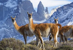 This image released by BBC America shows a group of guanaco, close relatives to the llama, in Torres del Paines National Park in Chile, featured in the nature series