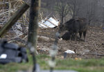 A mother cow mourns the death of her calf after a devastating tornado touched down on a farm in McCracken County, Ky., on Thursday, March 14, 2019.  (Ellen O'Nan/The Paducah Sun via AP)