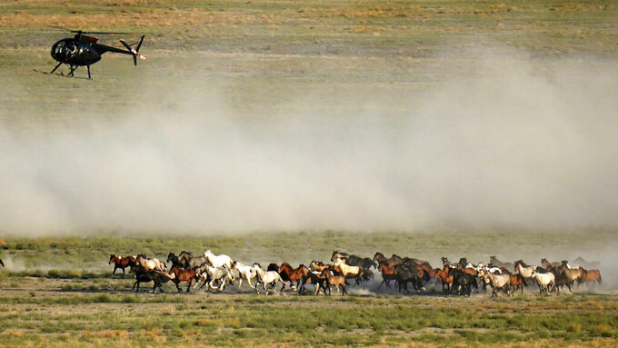 FILE - In this July 16, 2021, file photo a helicopter pushes wild horses during a roundup, near U.S. Army Dugway Proving Ground, Utah. The federal government is launching an emergency roundup on Wednesday, Sept. 1, of more than 780 wild horses in a drought-stricken area of Colorado despite a last-minute appeal by Gov. Jared Polis to pause the operation so that what he called more humane options to control the size of the herd can be considered. (AP Photo/Rick Bowmer, File)
