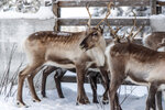 In this Saturday, Nov. 30. 2019 photo, reindeer in a corral at Lappeasuando near Kiruna await to be released onto the winter pastures. A collaboration between reindeer herders and scientists is attempting to shed light on dramatic weather changes and develop tools to better predict weather events and their impacts.  Unusual weather patterns in Sweden's arctic region seem to be jeopardising the migrating animals' traditional grazing grounds, as rainfall during the winter has led to thick layers of snowy ice that block access to food.  (AP Photo/Malin Moberg)