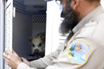 Santa Cruz Animal Shelter Officer Todd Stosuy opens the door to his truck to show a pig that was evacuated at a nearby home in Watsonville, Calif., on Tuesday, Jan. 19, 2021.