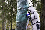 Wearing a protective suit, Washington State Department of Agriculture entomologist Chris Looney fills a tree cavity with carbon dioxide after vacuuming a nest of Asian giant hornets from inside it Saturday, Oct. 24, 2020, in Blaine, Wash. Scientists in Washington state discovered the first nest earlier in the week of so-called murder hornets in the United States and worked to wipe it out Saturday morning to protect native honeybees. Workers with the state Agriculture Department spent weeks searching, trapping and using dental floss to tie tracking devices to Asian giant hornets, which can deliver painful stings to people and spit venom but are the biggest threat to honeybees that farmers depend on to pollinate crops. (AP Photo/Elaine Thompson)