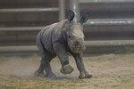 This Monday, Nov. 25, 2019, photo provided by San Diego Zoo Global shows a female southern white rhino calf as she runs around at the Nikita Kahn Rhino Rescue Center in the San Diego Zoo Safari Park, in San Diego. The baby rhino born Thursday, Nov. 21, to an 11-year-old mother named, Amani, was conceived through artificial insemination. (Ken Bohn/San Diego Zoo Safari Park via AP)