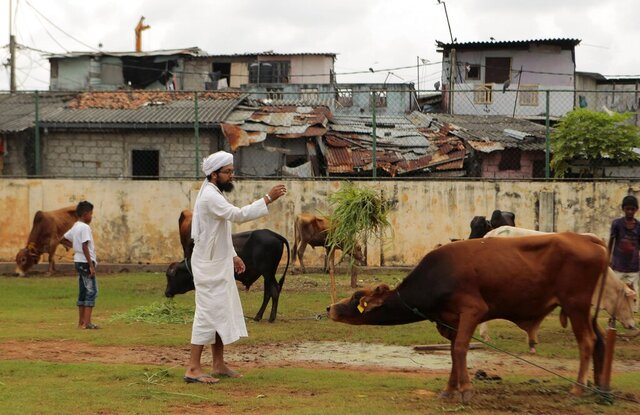 FILE- In this Oct.5, 2014 file photo, a Sri Lankan Muslim man throws a bundle of grass to a calf at a livestock market on the eve of Eid al-Adha festival in Colombo, Sri Lanka. Sri Lanka's government announced Tuesday that it will ban cattle slaughter, saying it would help the dairy industry and thereby save money used to purchase imported milk powder. (AP Photo/Eranga Jayawardena, File)