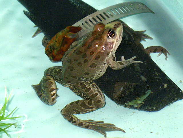 FILE - In this April 17, 2008, file photo a threatened Chiricahua leopard frog comes out from hiding in a special tank at a U.S. Fish and Wildlife Service office in Albuquerque, N.M. A U.S. Forest Service volunteer recently photographed the rare frog in an earthen stock tank near the town of Camp Verde in central Arizona, the agency said Thursday, July 23, 2020. The aquatic frogs were thought to be only in eastern Arizona, western New Mexico and northern Mexico but historically were more widespread. (AP Photo/Susan Montoya Bryan, File)