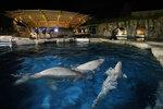 ARCHIVO - Tres belugas nadan en una piscina de aclimatación tras arribar al Mystic Aquarium el 14 de mayo del 2021 en Mystic, Connecticut.  (Jason DeCrow/AP Images por Mystic Aquarium)