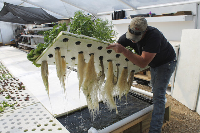 In this Friday, May 15, 2020 photo, Chris Garro shows off the long root under some herbs growing at the aquaponic greenhouse at Garro Farms in Nisland, S.D. (Lacey Peterson/Black Hills Pioneer via AP)