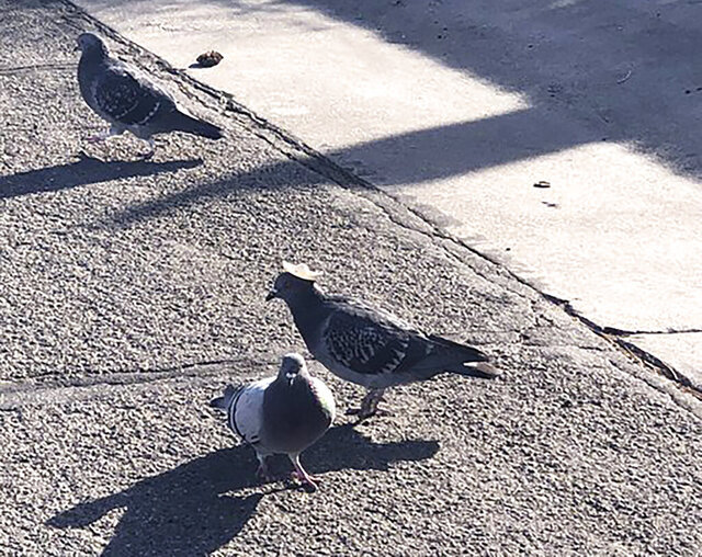 This Wednesday, Jan. 15, 2020, photo provided by Sabra Newby shows a pigeon wearing a tiny sombrero in Reno, Nev., and discovered following sightings of its cowboy hat-wearing cousins in Las Vegas, a city manager said. Reno City Manager Sabra Newby tweeted about the bird, saying it's quirky and fun but still inhumane, KOLO-TV reported. It is the first known sighting of hat-wearing birds in the region, Washoe County Regional Animal Services officials said. The sighting comes after a pigeon in Las Vegas with a miniature cowboy hat glued to its head died earlier this week, animal officials said. (Sabra Newby via AP)