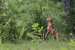 Dia, a Labrador retriever, gets some elevation to try and smell Scotch broom, an invasive species, in Harriman State Park in Tuxedo, N.Y., Tuesday, Aug. 6, 2019. The nonprofit New York-New Jersey Trail Conference has trained Dia to find Scotch broom plants in two state parks 50 miles (80 kilometers) north of New York City. The invasive shrub is widespread in the Pacific Northwest but new to New York, and land managers hope to eradicate it before it gets established.  (AP Photo/Seth Wenig)