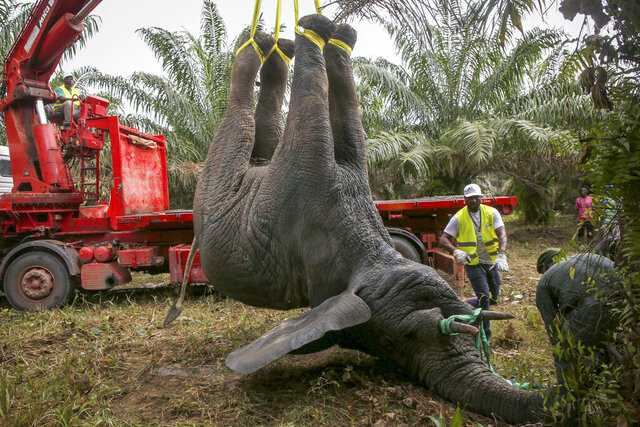 A wild elephant is prepared to be transported as part of operations carried out by authorities to catch and relocate wild elephants who have upset farming communities, in Guitry, Ivory Coast Thursday, Sept. 10, 2020. An elephant who was named Hamed by the residents in the southern region of Ivory Coast has been captured and moved to the zoo in Abidjan as he awaits a transfer to an appropriate park, in an effort to save the dwindling population. (AP Photo)