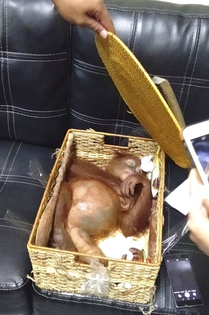 In this Saturday, March 23, 2019, photo released by Natural Resources Conservation Agency of Bali (BKSDA Bali), a sedated two-year-old orangutan rests inside rattan basket following the arrest of a Russian national Andrei Zhestkov who allegedly tried to smuggle the ape out of the resort island at Ngurah Rai International Airport in Bali, Indonesia. Authorities say the 27-year-old Russian tourist was captured late Friday at the airport after an X-ray found the 2-year-old male orangutan in a rattan basket inside his luggage. (BKSDA Bali via AP)