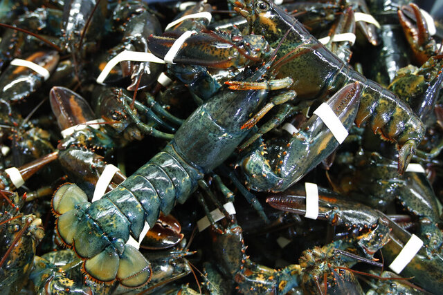FILE - In this March 13, 2020, file photo, lobsters await shipping at a wholesale distributer in Arundel, Maine. Lobster prices are falling in New England as the industry deals with the effects of the coronavirus pandemic. (AP Photo/Robert F. Bukaty, File)