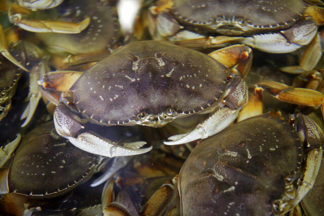 FILE - In this Nov. 16, 2018, file photo, fresh Dungeness crabs fill a tank at the Alioto-Lazio Fish Company at Fisherman's Wharf in San Francisco. California wildlife regulators have postponed the start of the commercial Dungeness crab season to protect whales and sea turtles from becoming entangled in fishing gear. The Department of Fish and Wildlife announced Wednesday, Nov. 4, 2020, that it's pushing back the scheduled Nov. 15 start of the season to Dec. 1. (AP Photo/Eric Risberg, File)