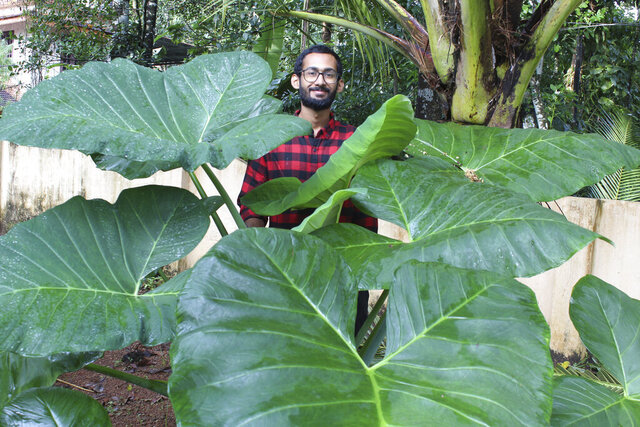In this photo provided by Sijo Zachariah,  Zachariah stands behind an elephant ear plant on Sept. 20, 2020, on a farm that he and his father started during coronavirus lockdown in the southwestern Indian state of Kerala. Guided by a combination of online videos and techniques Zachariah's grandfather passed down to his father, they began a garden that eventually helped feed 20 neighboring households during the pandemic. (Sijo Zachariah via AP)