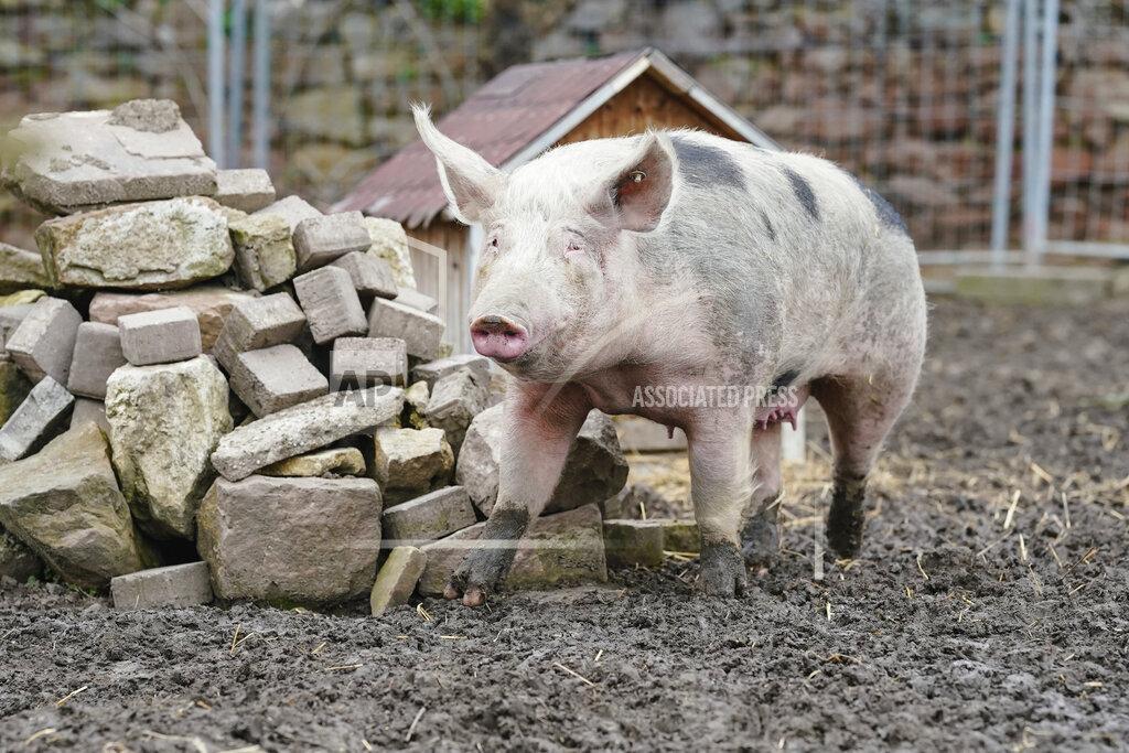 Grace Court grants refuge to pig Lotta