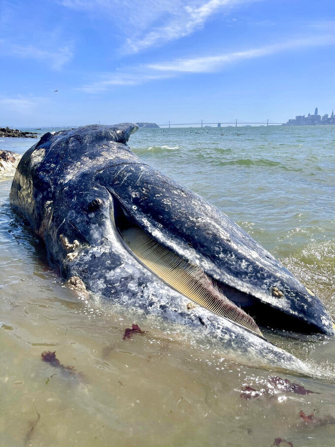 "This photo Thursday, April 8, 2021 photo provided by The Marine Mammal Center shows a subadult male gray whale on Angel Island State Park via San Francisco Bay, Berkeley Marina cause of death was undetermined. Four dead gray whales have washed ashore San Francisco Bay Area beaches in the last nine days and experts said Friday, April 9, 2021, one was struck by a ship. They were trying to determine how the other three died. ""It's alarming to respond to four dead gray whales in just over a week because it really puts into perspective the current challenges faced by this species,"" says Dr. Pádraig Duignan, Director of Pathology at The Marine Mammal Center. (The Marine Mammal Center via AP)"