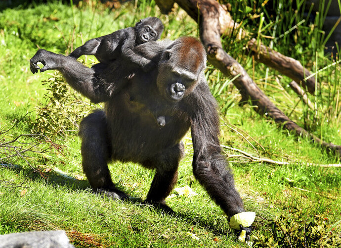 In this Thursday, March 7, 2019 photo, Bulera grabs a half head of cabbage before heading back into the gorilla house with her adopted baby Gandai during the pair's first excursion into the gorilla yard of the Jacksonville Zoo in Jacksonville, Fla. The 30-year-old gorilla has become a surrogate mother to the baby gorilla whose mother hasn't shown sufficient interest in her baby. (Bob Self/The Florida Times-Union via AP)
