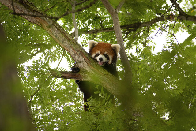In this July 23, 2020, photo provided by the Columbus Zoo and Aquarium, a red panda named Kora takes up position in a tree on the grounds of the Columbus Zoo and Aquarium, in Powell, Ohio. Kora, who had disappeared from her habitat on Tuesday, July 21, was successfully returned after zoo officials tranquilized her on Thursday, causing her to safely fall 10-feet into a net below. (Amanda Carberry/Columbus Zoo and Aquarium via AP)