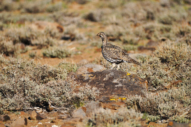 FILE - This March 10, 2010, file photo provided by the U.S. Fish and Wildlife Service shows a female bi-state sage grouse in Nevada. Conservationists are headed back to court again to try to force the Trump administration to protect the rare game bird along the California-Nevada line where the government keeps changing its mind about whether to add the cousin of the greater sage grouse to the U.S. list of threatened and endangered species. (U.S. Fish and Wildlife Service via AP, File)