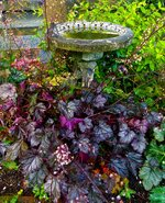 This June 15, 2015 photo shows some different varieties of Huecheras growing around a birdbath and split rail fence near Langley, Wash. Plants with red, purple or black leaves are striking additions to any landscape, making them a popular plant trend for the upcoming 2020 gardening season.(Dean Fosdick via AP)