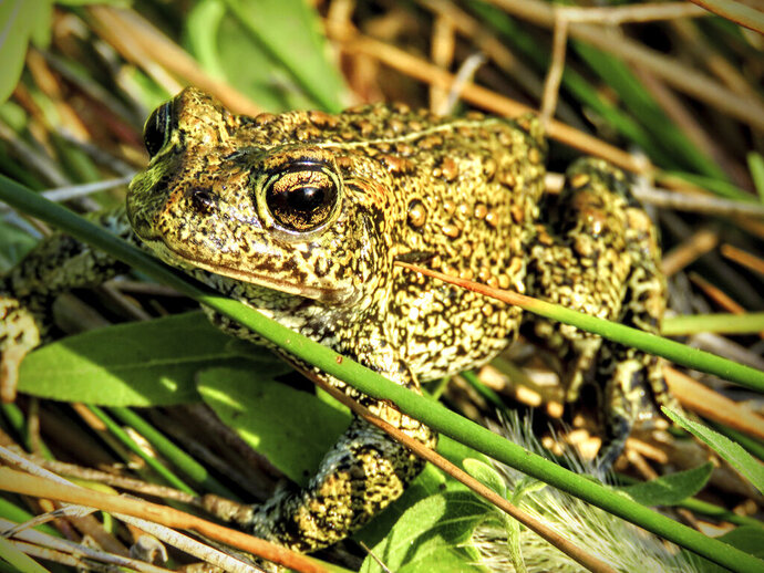 In this June 21,2017 photo provided by the Center for Biological Diversity, the Dixie Valley toad rests in its habitat in Northern Nevada. Environmentalists are warning that a planned geothermal energy plant in Northern Nevada could threaten the toad's habitat. (AP Photo/ Courtesy of the Center for Biological Diversity)