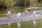 A roseate spoonbill, second from right, rests on a sandbar in a marshy area of Wilderness Park off Saline-Milan Road in Saline, Mich., on Tuesday, July 20, 2021. The bird typically lives in the Gulf Coast region.(Eric Seals/Detroit Free Press via AP)