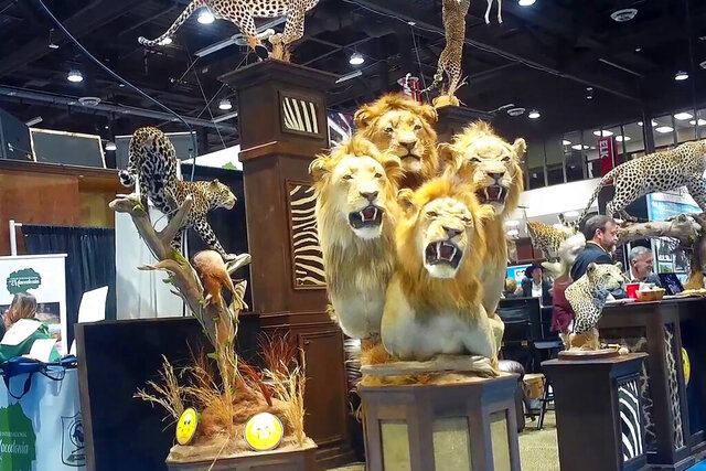 This image from video provided by the Humane Society of the United States shows a four-lion taxidermy at the Safari Club International's 2020 annual convention, that was held Feb. 5-8, 2020, in Reno, Nevada. An undercover video recorded by animal welfare activists shows vendors at a recent trophy-hunting convention promoting trips to shoot captive-bred lions in Africa, despite past public assurances by the event's organizers that so-called canned hunts wouldn't be sold.  (Humane Society of the United States via AP)