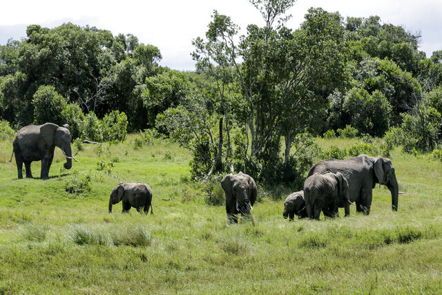 In this photo taken Saturday, May 2, 2020, a family of elephants graze in Ol Pejeta conservancy, Kenya. Wildlife tourism is a major source of revenue for countries like Kenya and with African wildlife parks hit hard by the disappearance of tourists due to travel restrictions and the new coronavirus, some operators are now sharing broadcasts of safaris on social media in the hope that attention to endangered and other species doesn't fade. (AP Photo/Khalil Senosi)