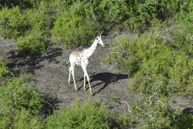 In this photo released by the Ishaqbini Community Conservancy, a male giraffe with a rare genetic trait called leucism that causes a white color is darted with a tranquilizer in order to fit a GPS tracking device, seen from a helicopter in the Ishaqbini Community Conservancy in Kenya Sunday, Nov. 8, 2020. The only known white giraffe in the world has been fitted with a GPS tracking device to help protect it from poachers as it grazes in the arid savannah in Kenya near the Somalia border. (Ishaqbini Community Conservancy via AP)