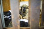 A small flock of sheep is seen before being walked the streets as part of a protest against Brexit, in central London, Thursday, Aug. 15, 2019. Protestors are walking sheep past government buildings as part of 'Farmers for a People's Vote' to highlight the risk Brexit presents to livestock. (AP Photo/Vudi Xhymshiti)