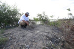 Wildlife biologist/crocodile specialist Michael Lloret points out a crocodile nest on one of the berms along the cooling canals next to the Turkey Point Nuclear Generating Station, Friday, July 19, 2019, in Homestead, Fla. The 168-miles of man-made canals serve as the home to several hundred crocodiles, where a team of specialists working for Florida Power and Light (FPL) monitors and protects the American crocodiles. (AP Photo/Wilfredo Lee)