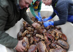 Fishermen arrange crabs after their boat returned from a fishing trip to the harbour in Hartlepool, England, Monday, Nov. 11, 2019. Political parties in Britain's Brexit-dominated December election are battling fiercely to win Hartlepool and places like it: working-class former industrial towns with voters who could hold the key to the prime minister's office at 10 Downing Street. Fishermen, who rail against the EU's quotas and red tape, are among the staunchest supporters of leaving the bloc. (AP Photo/Frank Augstein)