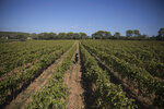 A worker tends to a vineyard in the southern France region of Provence, Friday Oct. 11, 2019. European producers of premium specialty agricultural products like French wine, are facing a U.S. tariff hike on Friday, with dollars 7.5 billion duties on a range of European goods approved by the World Trade Organization for illegal EU subsidies to aviation giant Airbus. (AP Photo/Daniel Cole)